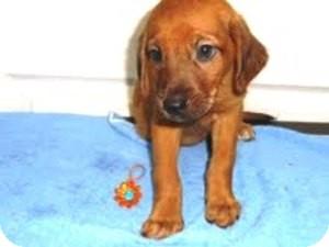 Redbone Coonhound Mix Puppy for adoption in Bartonsville, Pennsylvania - LINDSAY