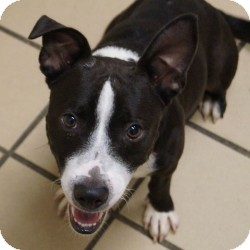 Corgi Mix Dog for adoption in Eatontown, New Jersey - Lenny