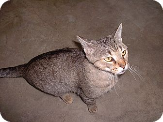 Domestic Shorthair Cat for adoption in Sterling, Kansas - Chip