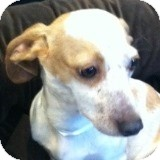 Dachshund Mix Dog for adoption in Houston, Texas - Billy Bayou