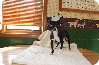 Chihuahua Mix Dog for adoption in North Judson, Indiana - Oreo