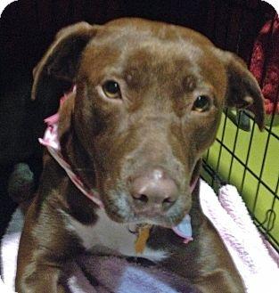 American Pit Bull Terrier/Labrador Retriever Mix Dog for adoption in San Antonio, Texas - Coco