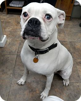 Boxer Mix Dog for adoption in Kelseyville, California - Maggie