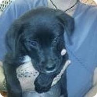 Adopt A Pet :: Black Widow - Niceville, FL