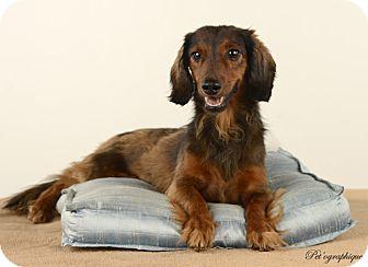 Dachshund Dog for adoption in Henderson, Nevada - Zucker