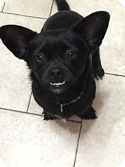 Pug Mix Dog for adoption in Saddle Brook, New Jersey - Knuckles