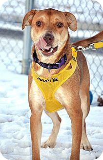 Labrador Retriever Mix Dog for adoption in Fort Leavenworth, Kansas - Dixie