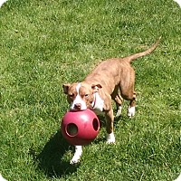 Adopt A Pet :: Scout - Cary, IL
