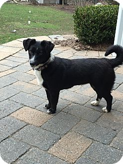 Corgi Mix Puppy for adoption in West Milford, New Jersey - MISTY- pending