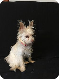 Yorkie, Yorkshire Terrier/Poodle (Toy or Tea Cup) Mix Puppy for adoption in Hampton, Virginia - Ellie