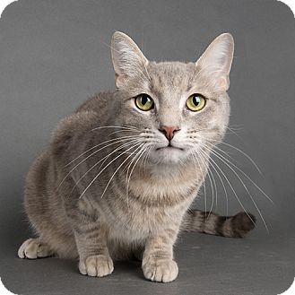 Domestic Shorthair Cat for adoption in Wilmington, Delaware - Grayson