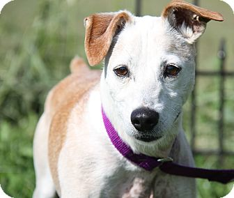 Jack Russell Terrier/Fox Terrier (Smooth) Mix Dog for adoption in Marietta, Ohio - Wiley (Neutered) Updated Photo