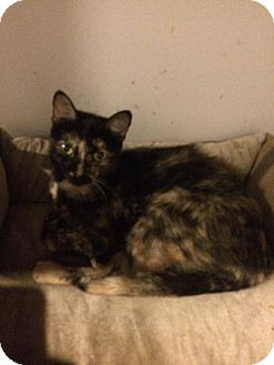 Domestic Shorthair Cat for adoption in Muskegon, Michigan - Katy