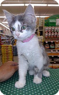 Domestic Mediumhair Kitten for adoption in Warren, Ohio - Khleo