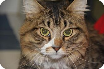 Domestic Mediumhair Cat for adoption in Greensboro, North Carolina - Shemar