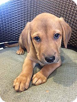 Hound (Unknown Type)/Retriever (Unknown Type) Mix Puppy for adoption in Wilmington, Delaware - Ashton