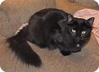 Domestic Shorthair Cat for adoption in Kingwood, Texas - Kerry
