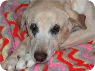Labrador Retriever Mix Dog for adoption in Quincy, Massachusetts - Gammy: Gentle Girl