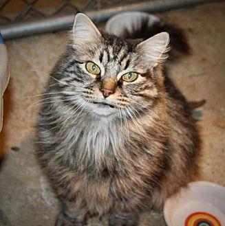 Siberian Cat for adoption in Cottonwood, California - Franny