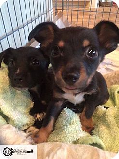 Chihuahua/Dachshund Mix Puppy for adoption in DeForest, Wisconsin - Tucker