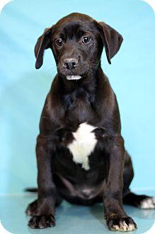 Labrador Retriever Mix Puppy for adoption in Waldorf, Maryland - Dandy