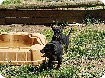 Mountain Cur/Australian Shepherd Mix Puppy for adoption in Blue Bell, Pennsylvania - Breakfast club