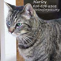 Adopt A Pet :: HARLEY - Monrovia, CA
