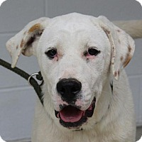 Adopt A Pet :: Olivia - Hagerstown, MD