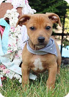 Beagle/Retriever (Unknown Type) Mix Puppy for adoption in Cincinnati, Ohio - Aspen