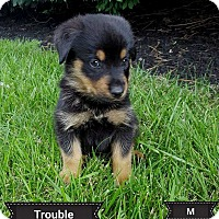 Adopt A Pet :: Trouble - North Ridgeville, OH