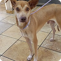 Adopt A Pet :: Runner - Las Vegas, NV