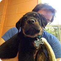 Adopt A Pet :: Gabriel - Austin, TX