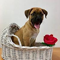 Adopt A Pet :: Tarina - Joliet, IL
