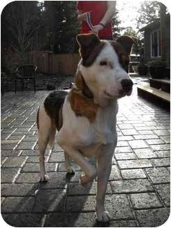 Australian Cattle Dog Mix Dog for adoption in Salem, Oregon - Bruce
