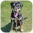 Photo 1 - Labrador Retriever Mix Puppy for adoption in San Clemente, California - ZACK