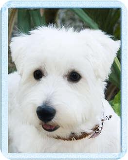 Westie, West Highland White Terrier Dog for adoption in North Palm Beach, Florida - Cody