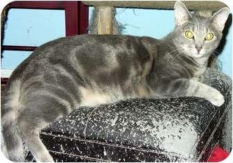 Domestic Mediumhair Cat for adoption in Alexandria, Virginia - Frodo