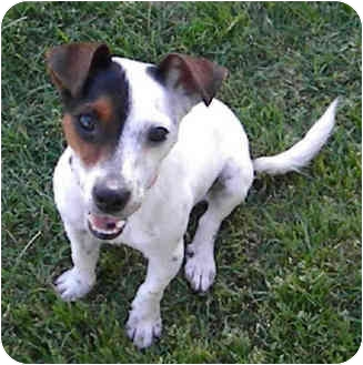 Jack Russell Terrier Dog for adoption in Phoenix, Arizona - MINI