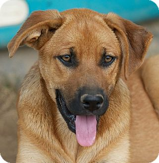 German Shepherd Dog/Labrador Retriever Mix Puppy for adoption in Providence, Rhode Island - Lily