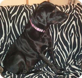 Weimaraner/Labrador Retriever Mix Dog for adoption in Whitakers, North Carolina - Dixie