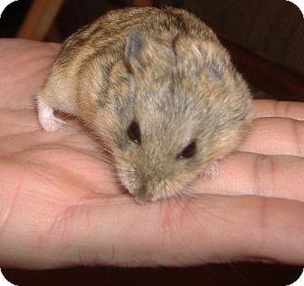 Hamster for adoption in Clinton, Missouri - Picasso