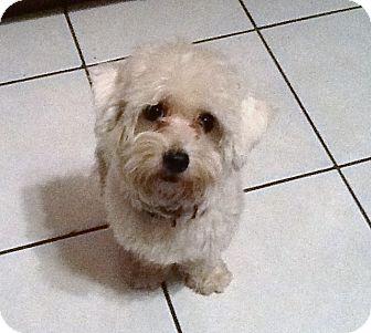 Maltese Dog for adoption in Santa Ana, California - Bella