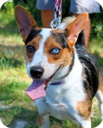 Cattle Dog Mix Dog for adoption in Manahawkin, New Jersey - Riley