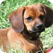 Pug/Beagle Mix Puppy for adoption in Austin, Texas - Gingersnap