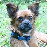 Adopt A Pet :: Piccolo - Mocksville, NC