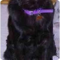 Adopt A Pet :: Mischa - Gilbert, AZ