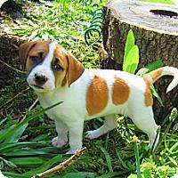 Adopt A Pet :: Ciera - Alexandria, VA