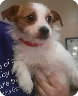 Jack Russell Terrier/Rat Terrier Mix Puppy for adoption in Chicago, Illinois - Lollie