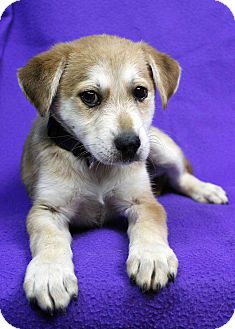 Husky Mix Puppy for adoption in Westminster, Colorado - Marche