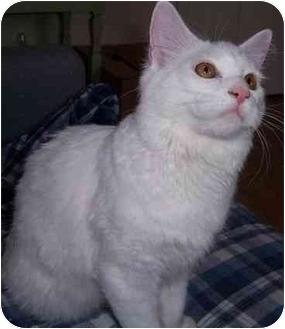 Domestic Longhair Cat for adoption in Feeding Hills, Massachusetts - Q-Tip (deaf)